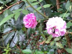 Bumblebee in last rose of summer